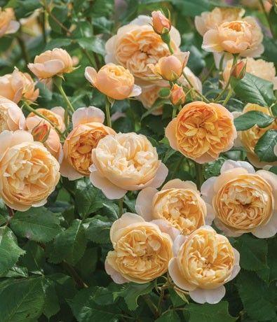 1000 images about david austin roses on pinterest david. Black Bedroom Furniture Sets. Home Design Ideas