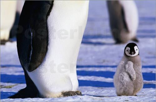 Es wird vermutet, dass Pinguine aufgrund ihrer Ähnlichkeit zum Menschen zu den beliebtesten See- und Küstenvögel zählen. Schließlich gibt es nicht viele Tiere, die wie der Mensch aufrecht gehen und dabei noch so niedlich für ein Fotoposter posieren können.