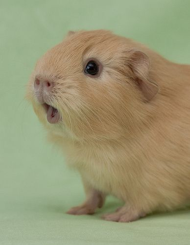 The Peruvian Guinea Pigs soon began to arrive in many other countries, mostly thanks to France. This was the time when this particular breed became very popular as a household pet.