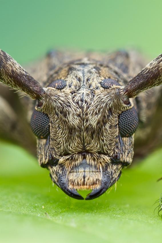 Beetles   Longhorned Beelte - Cerambycidae   Macro ...