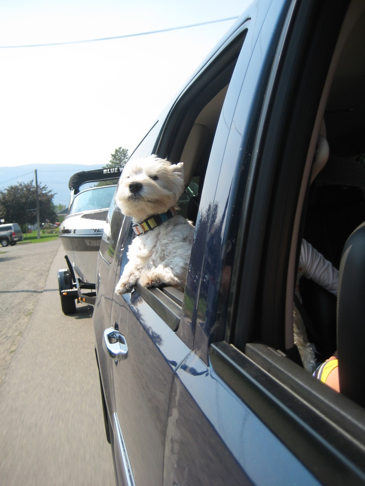 Image result for westie in the car
