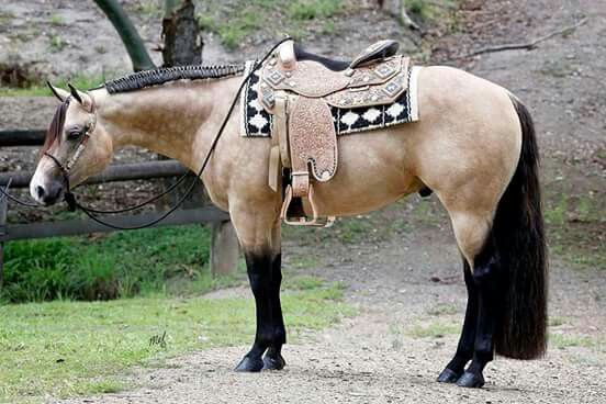 Potentially Lazy...a gorgeous stallion. I love how the saddle MATCHES his coloring!!