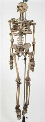 Scheletro umano ad uso didattico La sezione dedicata all'anatomia umana si apre con lo scheletro, che faceva parte della dotazione del Liceo già nella prima metà del XIX secolo. Nella funzione didattica è stato da gran tempo sostituito da un modello in materiale plastico.