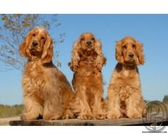 Cocker Spaniel Dog For Sale At Best Price English Cocker Spaniel
