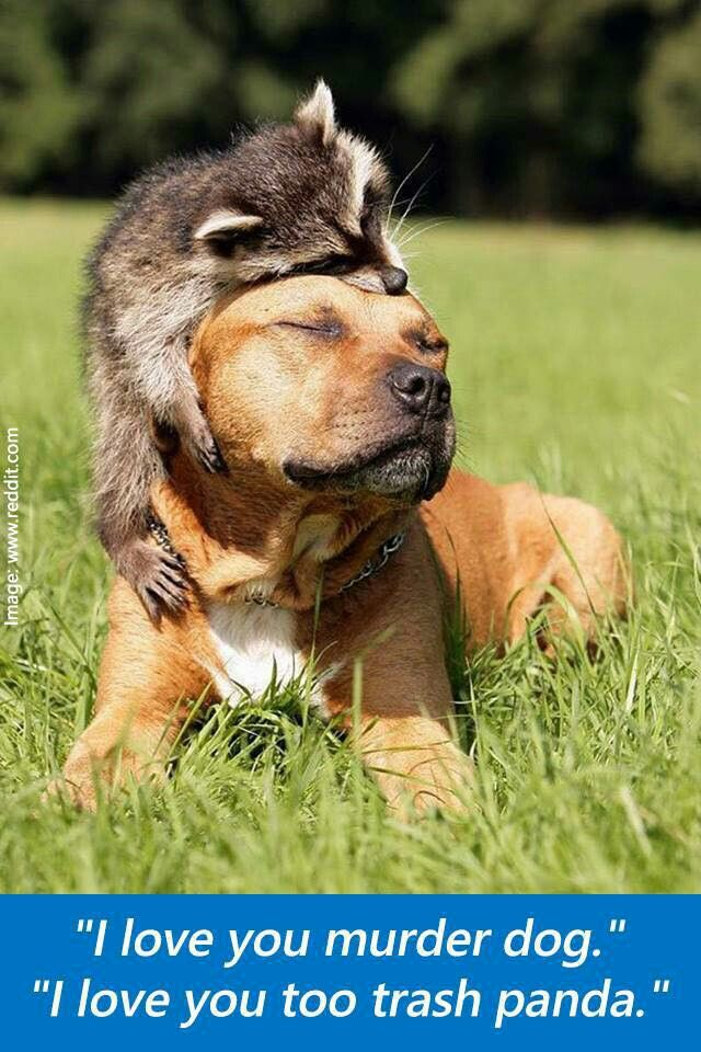 Pit bull and raccoon