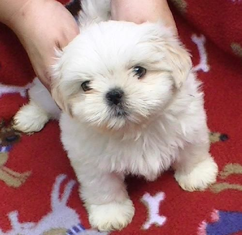 15 best coton crew wishes images on pinterest pets doggies and petfinder adoptable dog shih tzu spartanburg sc bayani little jasmines solutioingenieria Images