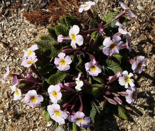 Zielono Zakręceni: Pierwiosnek (Primula) - gatunki, odmiany, warunki uprawy w ogrodzie (1/1)