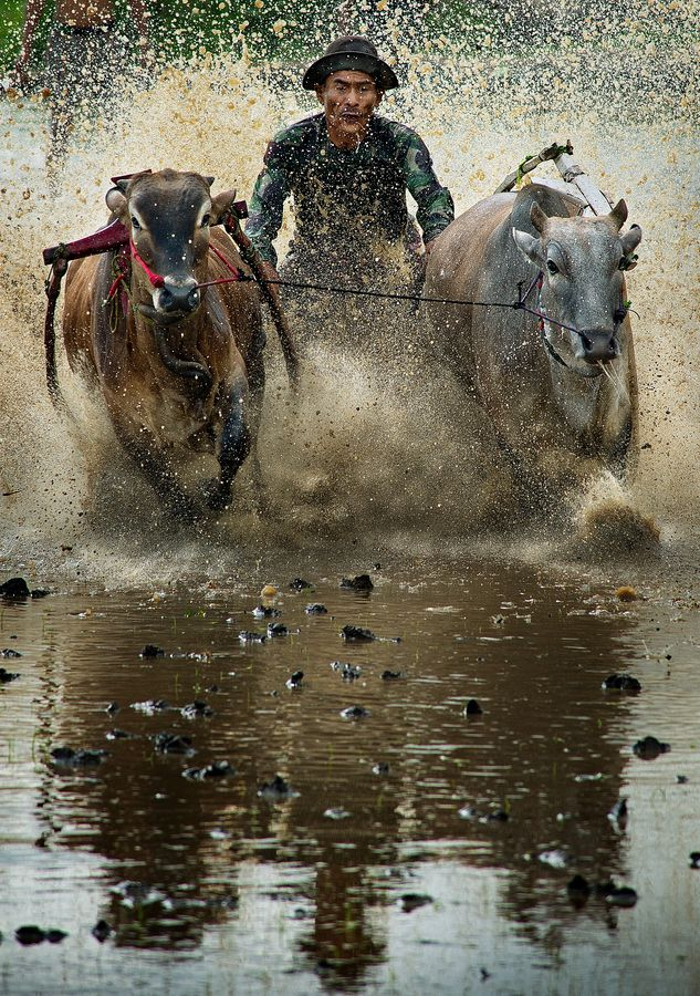 pacu jawi / bull race by Yaman Ibrahim on 500px
