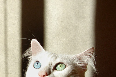 Cats With Gold Orange Eyes Deaf