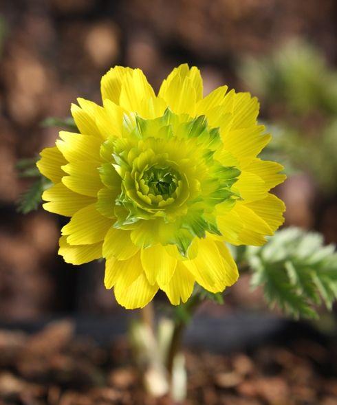Adonis amurensis 'Pleniflora' (Double Flowered Amur Adonis)