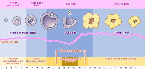 Esquema proceso de ovulación ciclo menstrual.