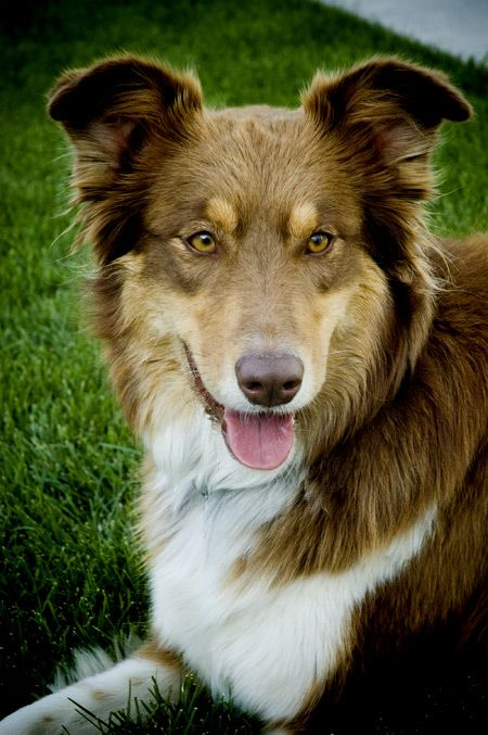I want one of these one day! -Border Collie/Aussie mix