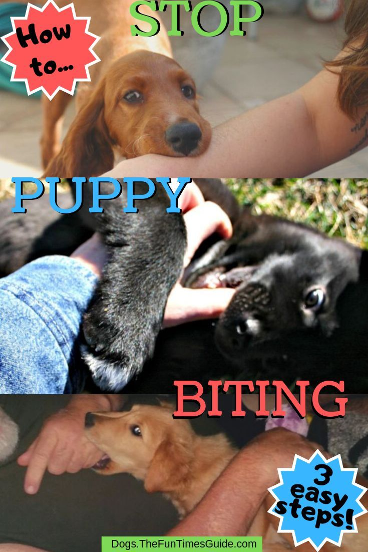 When Do Puppies Stop Biting And How To Cope With A Teething Lab Puppy