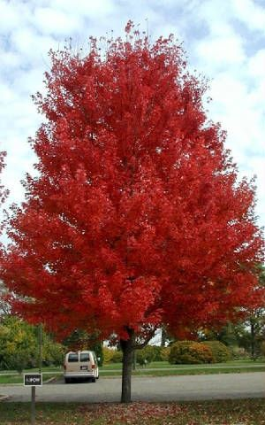 Autumn Blaze Maple~ Need a fast growing tree? Then this the one for you. It can push up to 2 feet a year without becoming weak-wooded. Fall color is a brilliant red.                                                                                                                                                                                 More