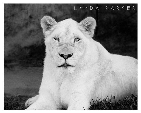 Proud Lion Black and White Giclee Photograph - 8x10 on Etsy