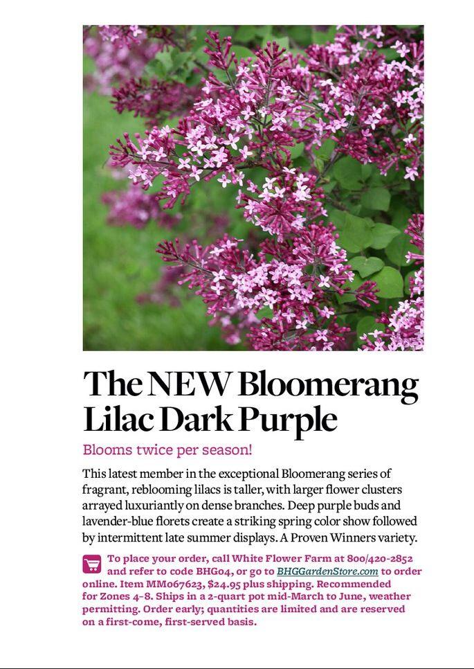 Bloomers go lilac dark purple
