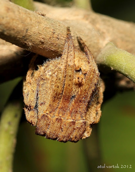 """Tree Stump Spiders are camouflaged during the day, motionless on vegetation, the legs drawn tightly around the cephalothorax with just the median eyes protruding between the legs. In this position they resemble part of a dead twig, a gall or a broken piece of wood."" Spotted by Atul"