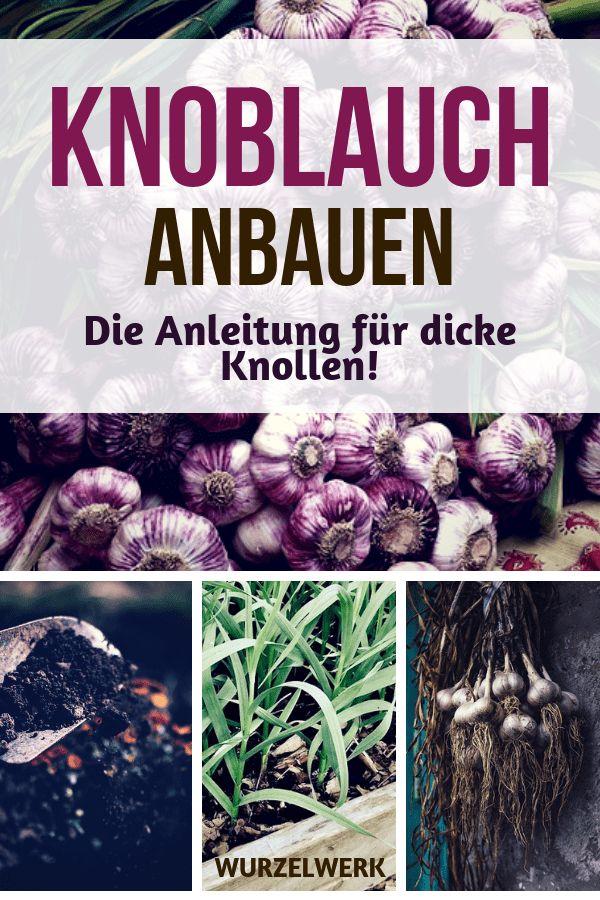 Knoblauch pflanzen, anbauen, ernten und lagern – Wurzelwerk: Gemüsegarten-Tipps!