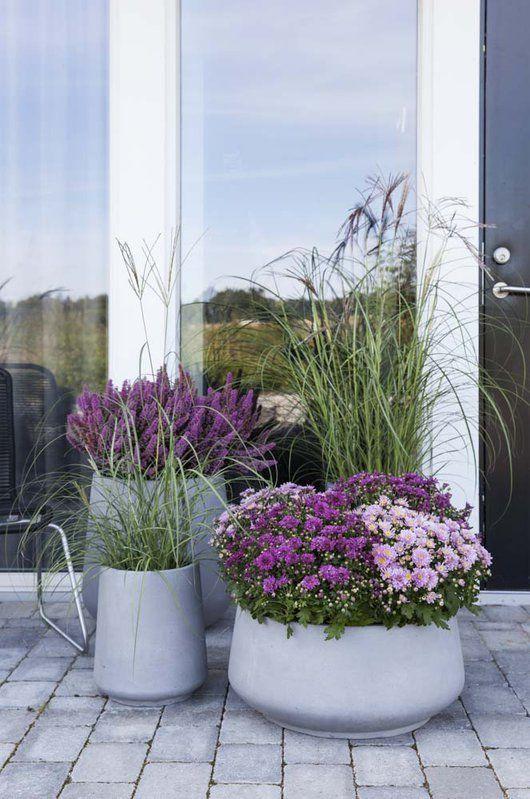 På høsten er det vakkert å kombinere prydgress, frilandskrysantemum og lyng.