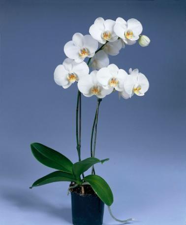 Brudorkidé 'Snowflake' - Phalaenopsis multiflora 'Snowflake'    Nästan som ett smycke är denna fjärilsliknande älskliga brudorkidé 'Snowflake' från tropiska Asien, som dessutom kan blomstra i ett halvt år, varefter den bildar en ny blomstjälk. Den här sorten blommar med snövita blommor med en gul läpp! Trivs utmärkt i vardagsrummet och är lättskött.