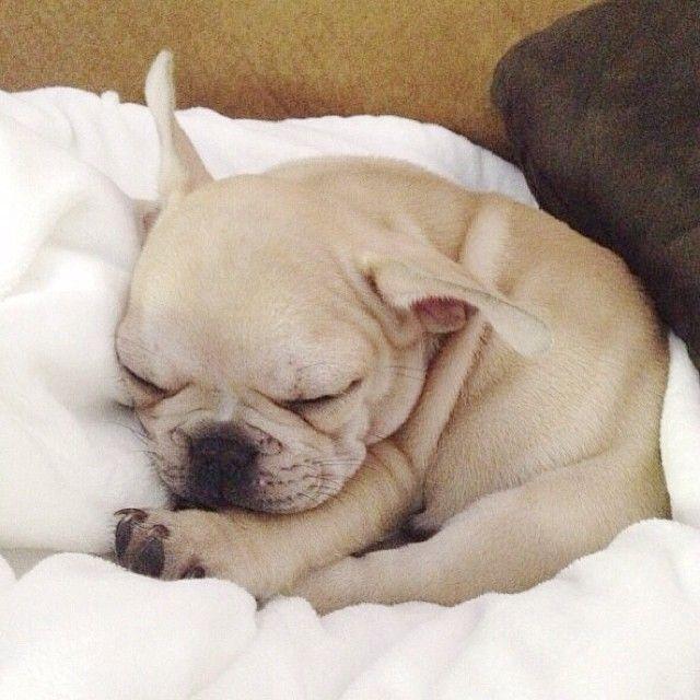 Baby French Bulldog.