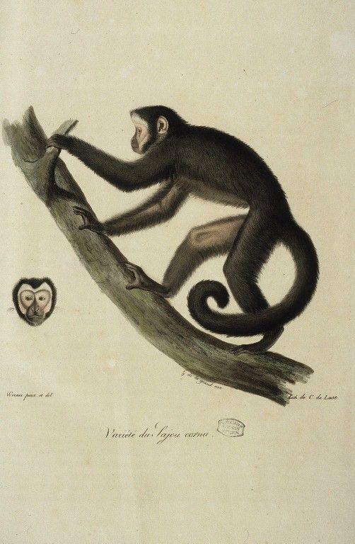 Dessins anciens de singes : singe Potto femelle.jpg