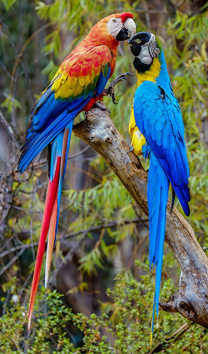 A Scarlet Macaw and A Blue-and-Yellow Macaw.