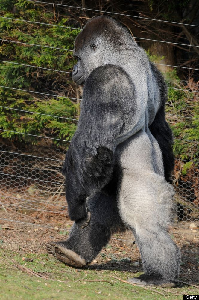 Ambam, a 21 year old Silverback gorilla, walks on his hind legs at Port Lympne Zoo in Kent Southeast England, on January 28, 2011. The male name Ambam, is part of a bachelor group of critically endangered Western Lowland Gorillas at Port Lympne Wild Animal Park in Kent. [Also on this board is a one minute VIDEO of him walking. st] AFP PHOTO/Ben Stansall