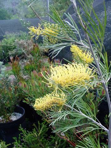 Grevillea 'Sandra Gordon' | austrlianplants