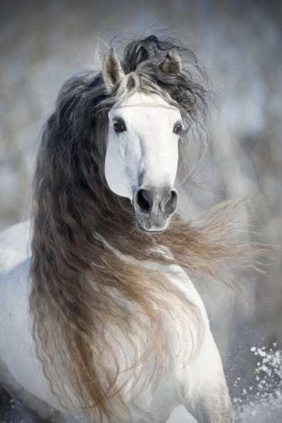 Grey HorseHorses, Beautiful Hors, Colors, Snow, White Hors, Grey, Drawing, Animal, Gray Hors
