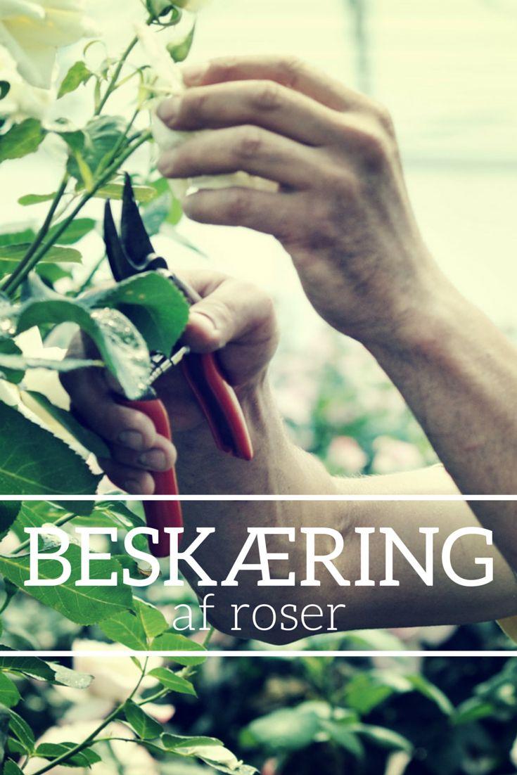 Beskæring af roser. #roser #rose #roses #beskæring #pruning #klipning #foryngelsesbeskæring #foryngelse #trimning #nedskæring #plantoramadk