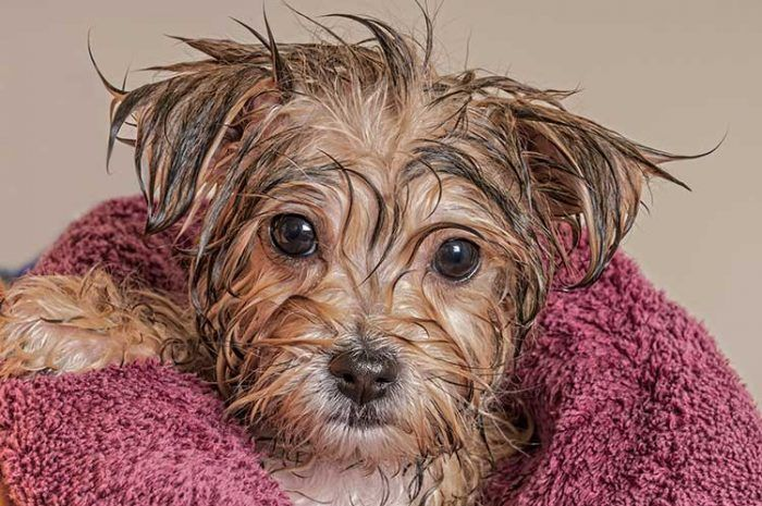 A Dog In A Towel After Taking A Bath Bathing A Puppy Morkie