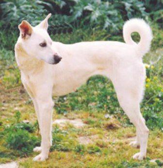Cretan Dog Breeds