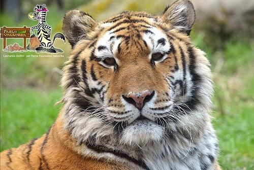 tigre siberiana Parco Faunistico Valcorba
