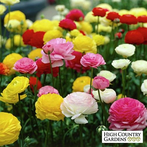 Ranunculus Tecolote Mix, Persian Buttercups. Love 'em in a container, such bright color.
