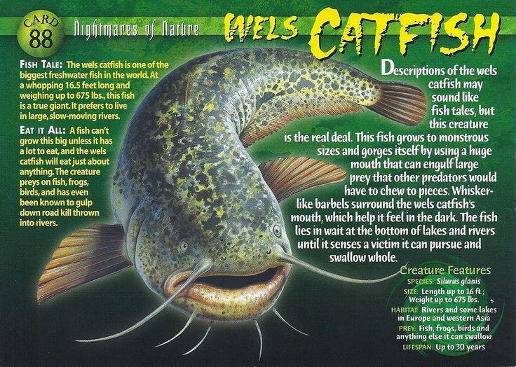 Wels Catfish | Wierd N'wild Creatures Wiki | Fandom powered by Wikia