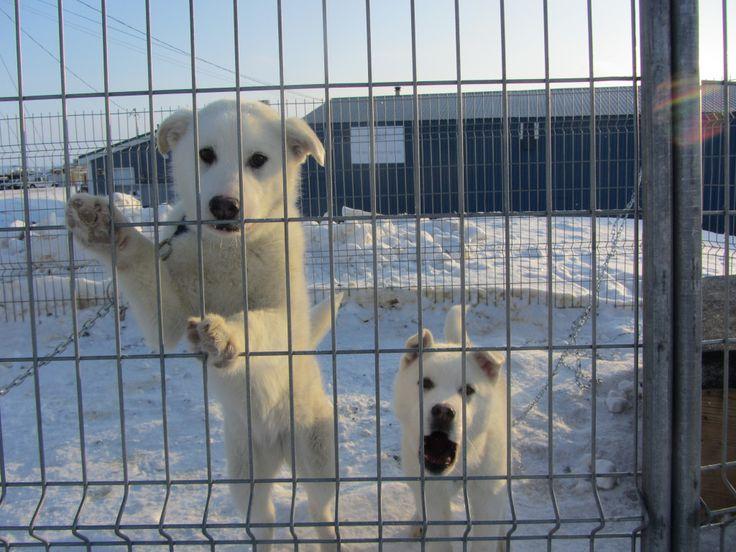 nunavut inuit dog