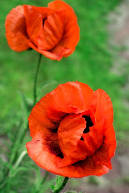 Poppy, poppy flower, red flower