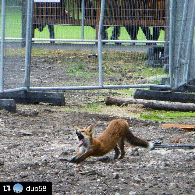 "From @dub58 who brought us the ""stuffed squirrel"", here's Trinity's own ""yoga fox""! #trinitycollegedublin #fox #nature #fridayfrolics  #Repost @dub58 with @repostapp ・・・ Yoga Fox #trinitycollegedublin #trinitywildlife #yoga #discoverdublin #igersdublin #dublinigers #fox"