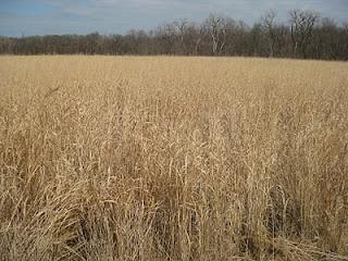 Wheat field? Nope. A restored prairie in Morton Grove, Illinois in the late winter.