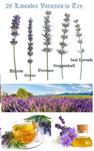 Lavender is a flowering herb with culinary, medicinal, aromatherapy and decorative uses. As per many it is an eco-friendly insect repellent. Lavender is also delectable eye candy in any landscape. It comes in a multitude of colors other than the standard purple and lavender. White, Indigo, yellow, Red and varying shades thereof can be found in the Lavender family.