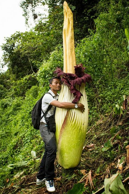 The most famous species in Amorphophallus is doubtless Sumatra's A. titanum, the Titan Arum. It can reach up to 3 metres (10 feet) tall in its flowering stage.