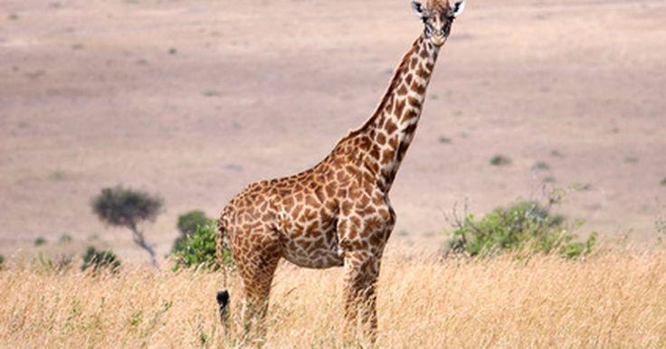 ¿Cómo duermen las jirafas?. Las jirafas son los animales más altos y los bebés jirafas no son la excepción. Llamados terneros, las jóvenes jirafas nacen con una altura de 6 pies (1,82 m) y crecen 12 pulgadas (30 cm) cada uno de los tres primeros meses. Generalmente doblan su altura en el primer año. Luego de haber nacido, una jirafa tarda 30 minutos en aprender a pararse y 4 ...