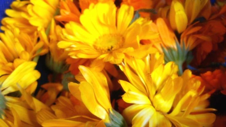 Calendula-marigold