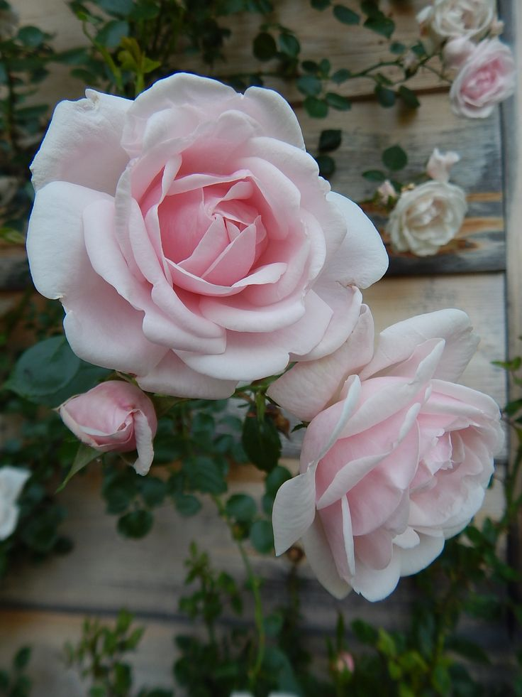 Rosa 'New Dawn' | pale pink climbing rose... we use them at Floreciendo and they are amazing! require little care, or maintenance... and just bloom and bloom and bloom..