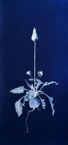 Nicola Murray - Cyanotype