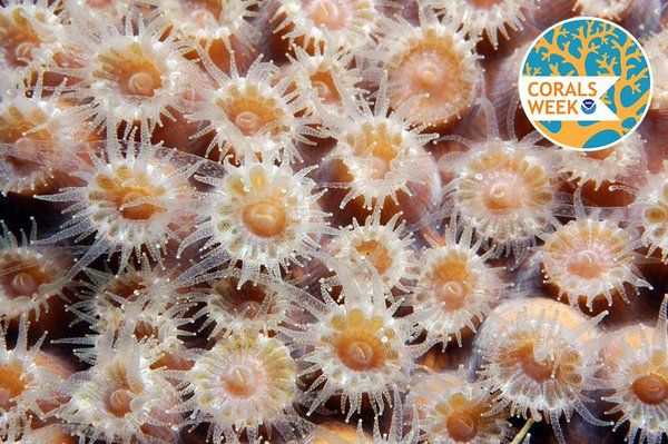 How does coral eat? The answer may surprise you: http://1.usa.gov/1IkjTuY  #CoralsWeek  NOAA Ocean Explorer (@oceanexplorer) | Twitter