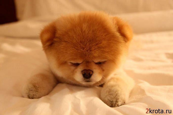 palmeranian | Бу - самая популярная собака на Facebook ...