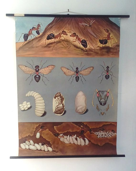 Authentic Chart - Chart from 1970's - 20th century Art - Insects Affiche - Ants Poster - Insects Chart - Jung Koch Quentell