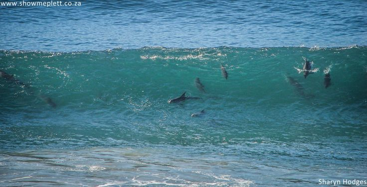 Dolphins playing in the waves. Picture by Sharyn Hodges.  ShowMe Plett www.showmeplett.co.za